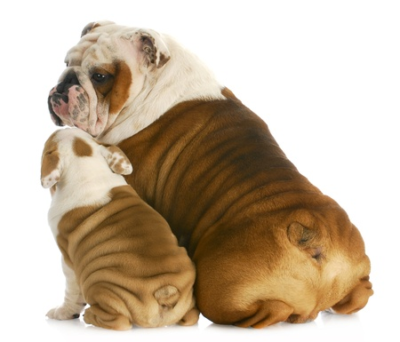dog family - english bulldog father and son sitting with reflection on white background photo