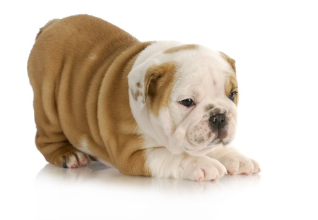 cute puppy - english bulldog puppy with bum in the air on white background - 6.5 weeks old photo