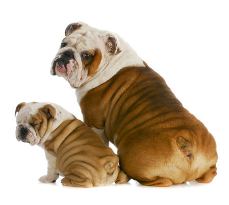 bulldog puppy: dog father and son - english bulldog father and son sitting with back to viewer on white background