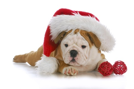 christmas puppy - adorable english bulldog puppy wearing santa hat on white background photo