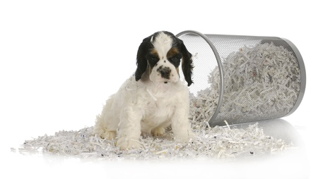 shredded: puppy sitting in recycled paper - american cocker spaniel puppy - 8 weeks old Stock Photo
