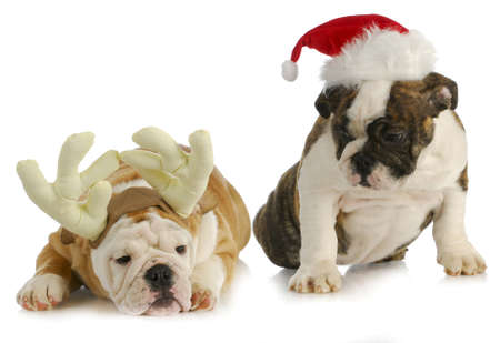 pampered pets: christmas puppies - two bulldog puppies dress like rudolph and santa on white background