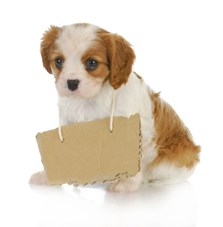 cavalier: puppy with a message - cavalier king charles spaniel puppy with sign around neck - 7 weeks ols