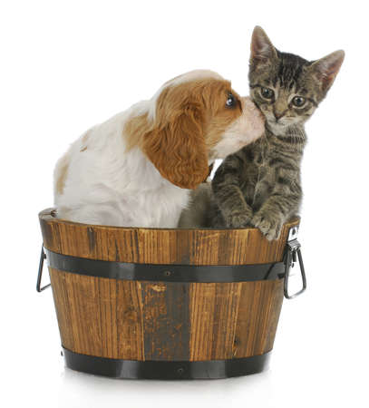 gray cat: cute puppy and kitten - cavalier king charles spaniel puppy kissing grey short haired kitten on white background