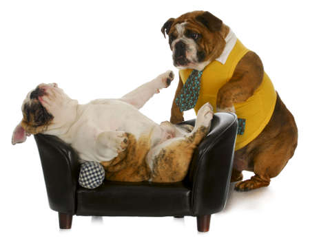 lazy dog - english bulldog standing trying to wake up another laying on couch  photo