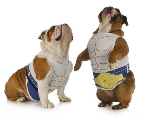 kampfhund: starker Hund - zwei Englisch Bulldogs tragen Muskel-Shirts aufzublicken