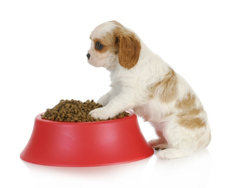 wean: hungry puppy - cavalier king charles spaneil sitting with full bowl of dog food