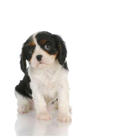 cute puppy - cavalier king charles spaniel puppy looking up out of corner of eyes - 7 weeks old photo