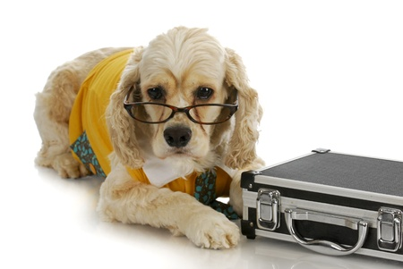 working dog - american cocker spaniel business man with briefcase on white background photo