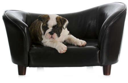 buldog: perro en el sofá - Inglés bulldog cachorro de perro en el sofá por la que se con la reflexión sobre fondo blanco Foto de archivo