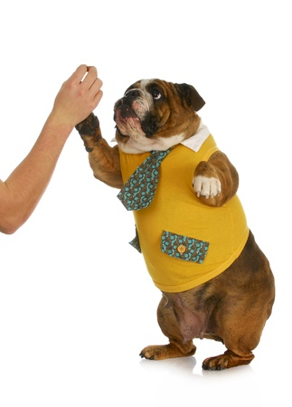 shake up: high five - hand of person giving high five to english bulldog standing  Stock Photo