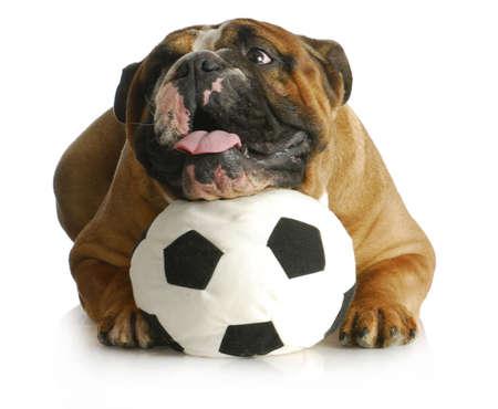 perros jugando: perro jugando con la pelota - Bulldog Ingl�s con la cabeza que pone en bal�n de f�tbol sobre fondo blanco