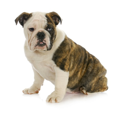 1: cute puppy - english bulldog puppy with one brown eye and one blue eye - 4 months old Stock Photo