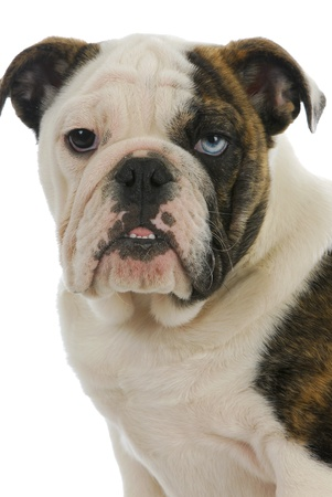 cute puppy - english bulldog puppy with one brown eye and one blue eye - 4 months old photo