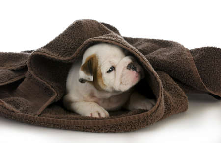 puppy bath time - english bulldog puppy and towel  photo