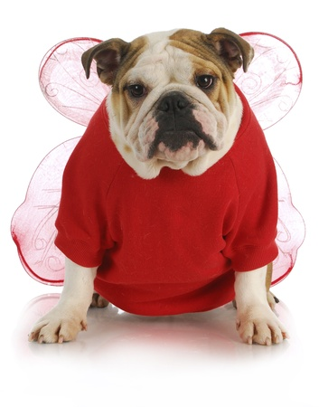 spoiled: good dog - english bulldog dressed up like an angel