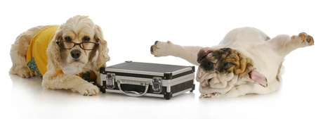 stressful business deal - cocker spaniel with briefcase laying beside stressed english bulldog on white background photo