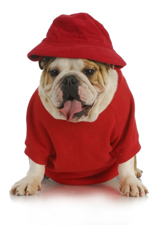 cute dog - english bulldog wearing red had and shirt on white background photo