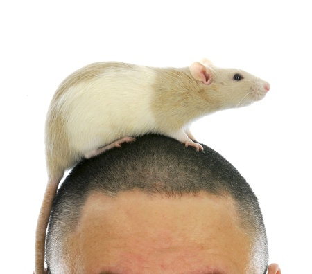 shaved: pet rat crawling on a man