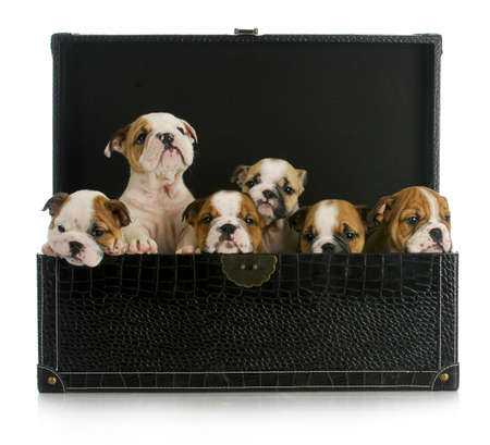 litter: litter of puppies - six english bulldog puppies in a leather trunk Stock Photo