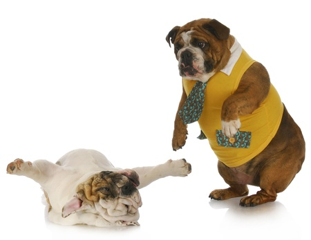 silly dogs - english bulldog standing looking down at another laying on back  photo