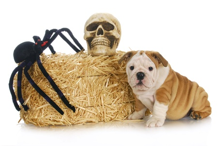 bull dog: halloween puppy - english bulldog puppy sitting beside bale of straw with skull and spider