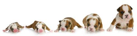 etapas de vida: el crecimiento del perrito - Ingl�s bulldog cachorro en un d�a, una semana, dos semanas, tres semanas y cuatro semanas de edad Foto de archivo