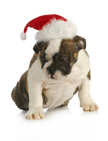 santa puppy - english bulldog puppy wearing santa hat on white background photo
