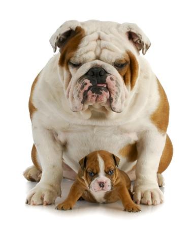 dogo: padre e hijo - padre de Bulldog Inglés y el hijo de cuatro semanas de edad, sentado en el fondo blanco