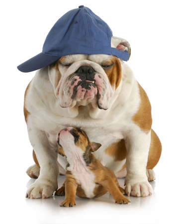 old english: father and son - english bulldog father and four week old son sitting on white background