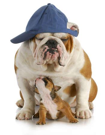 amor adolescente: padre e hijo - padre de Bulldog Ingl�s y el hijo de cuatro semanas de edad, sentado en el fondo blanco