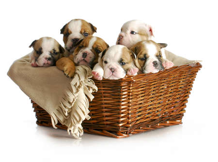 basket of puppies - english bulldog puppies in a wicker basket - 5 weeks old Stock Photo