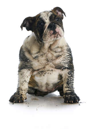 grooming: dirty dog - muddy english bulldog puppy sitting on white background