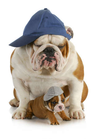 british people: dog father and son - english bulldog father with four week old son  wearing hats sitting on white background