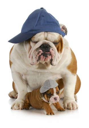 Briten: Hund Vater und Sohn - Englisch Bulldogge Vater mit 4 Wochen alten Sohn tragen H�te sitzen auf wei�em Hintergrund