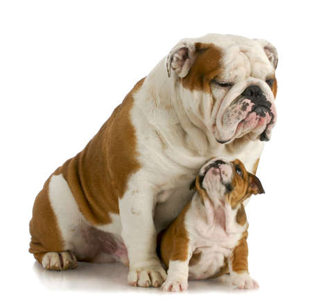 old english: big and small dog - english bulldog father sitting with 8 week old puppy on white background