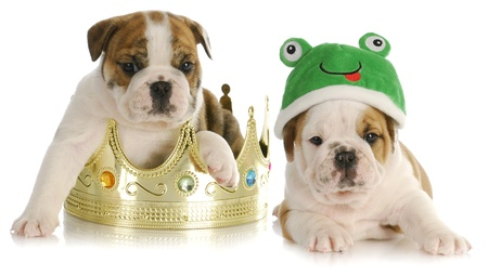 prince and the frog - english bulldog sitting in a crown with bulldog frog laying beside  photo