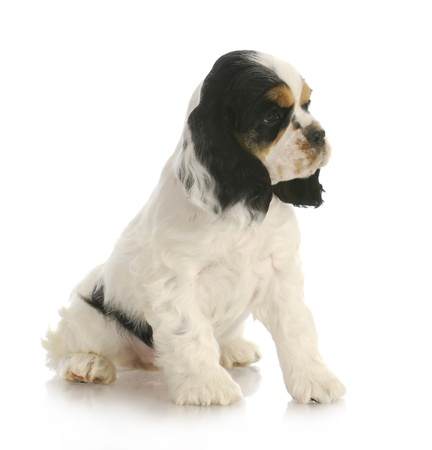 cute puppy - tri color american cocker spaniel puppy sitting on white background photo