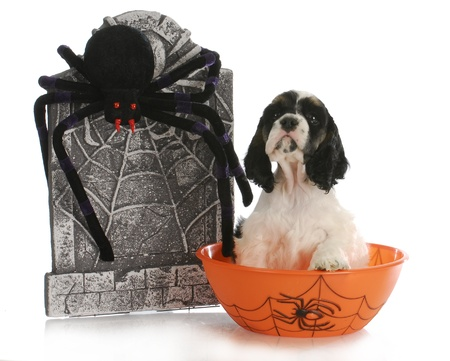 dog in costume: halloween puppy - cocker spaniel puppy sitting in bowl with tombstone and spider