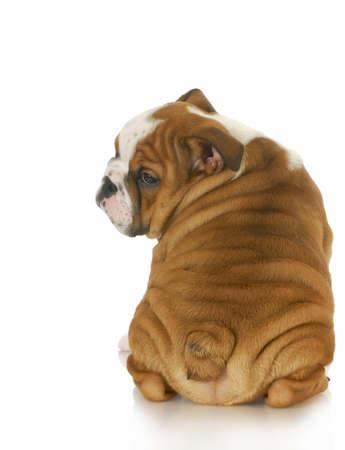 english bulldog: bulldog puppy looking over shoulder - 10 weeks old