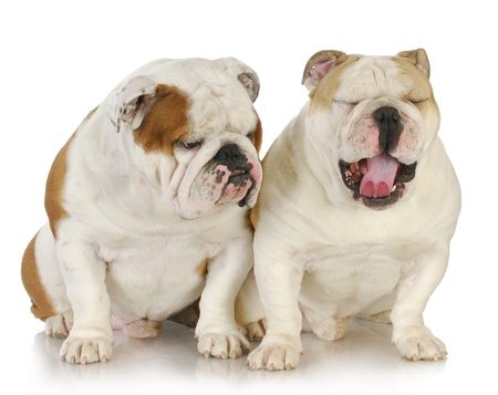 two male bulldogs father and son at 2.5 and 1 year old photo