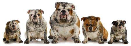 dirty dogs - five muddy english bulldogs Stock Photo - 13040852