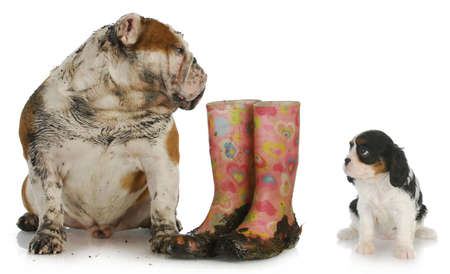muddy: dirty english bulldog sitting beside muddy boots looking over at clean cavalier king charles spaniel puppy Stock Photo