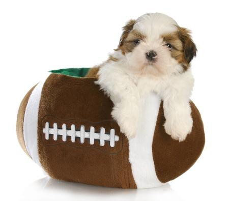cute puppy - shih tzu puppy sitting inside a stuffed football - 6 weeks old photo