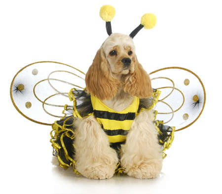dog in costume: dog dressed like a bee - american cocker spaniel wearing a bumble bee costume
