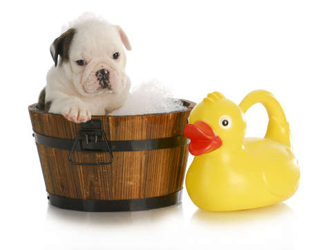 dog grooming: dog bath - english bulldog puppy sitting in tub with soap suds and rubber ducky Stock Photo