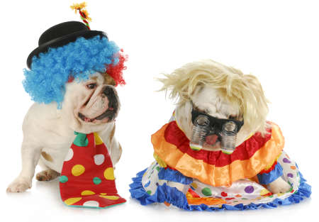 dog clowns - male and female english bulldog clowns on white background photo