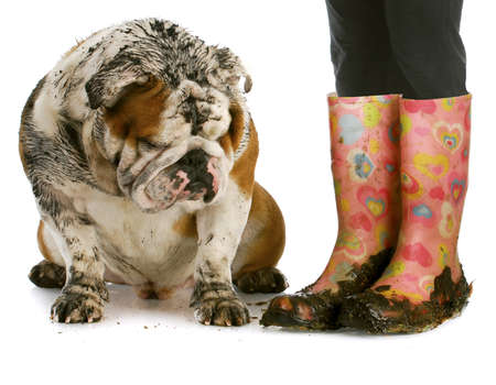 grooming: dirty dog and muddy boots - english bulldog sitting beside woman wearing rubber boots on white background Stock Photo