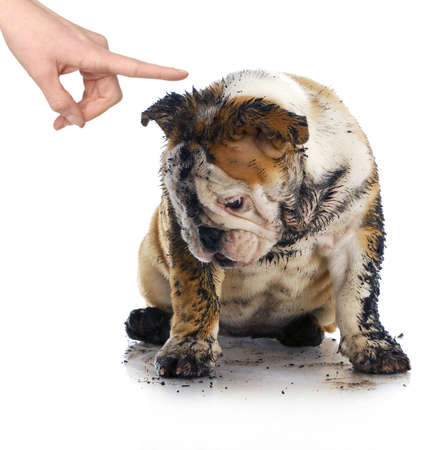 grooming: bad dog - dirty sad english bulldog being scolded by wagging finger