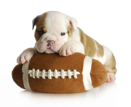 old english: cute puppy with stuffed football - english bulldog 5 weeks old